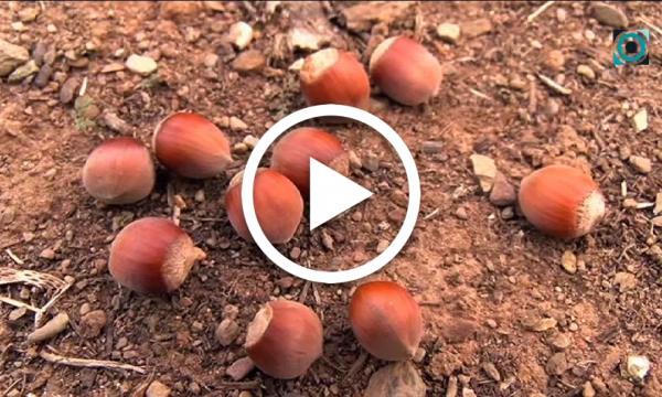Les cooperatives selvatanes preveuen una davallada d'entre el 50 i el 75% en la producció de l'avellana enguany